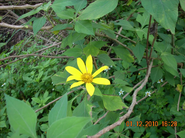 Taiwan wildflowers and weeds living in taiwan forumosa also i took a close up of the very tall yellow flowers these flowers including the branches were about 1 meters tall heres the picture mightylinksfo