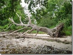 Gammelt væltet træ