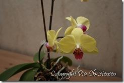Min orkidé lige nu