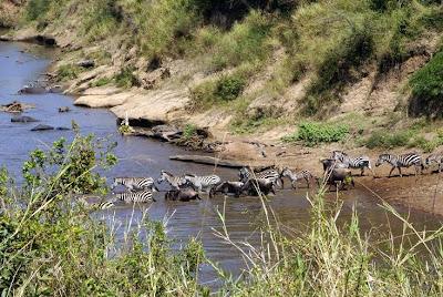 Cebras y núes cruzando el río Mara (Kenia)