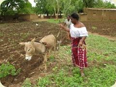 Plowing in Burkina Faso