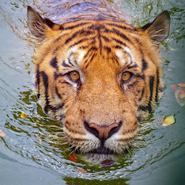 Big Cat in Water by Mirza N. Islam - Animals Lions, Tigers & Big Cats ( water, wild, big_cat, tiger, wildlife, royal_bengal_tiger, animal,  )
