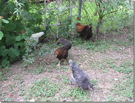 Chickens 021