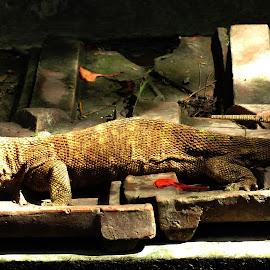 Colden Gacko by Debojyoti Ghosh - Animals Reptiles