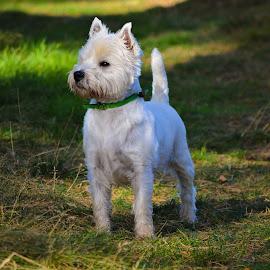 Wonderful Westie by Lyndsay Hepburn - Animals - Dogs Portraits ( whitehighlandterrier, westhighlandterrier, smallterrierdog, smallwhitedog, scottydog )