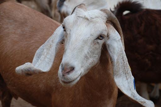 goat in israel