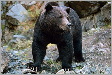 vc-bc-bear-closeup-photo-375-s-9476_89941