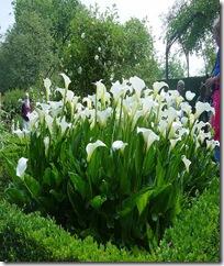 Arum blanche