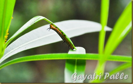 caterpillar 1