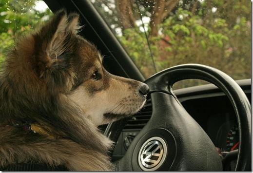 Dixie kjører bil