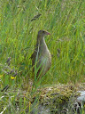 Corncrake, Eoligarry, Barra, Hebrides