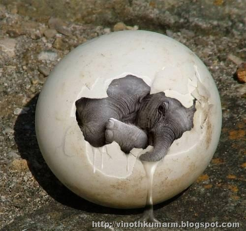Amazing Elephant Egg - Elephant Calf Picture in egg