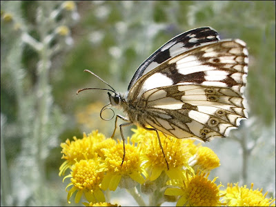 Papillon Demi-Deuil Melanargia Galathea