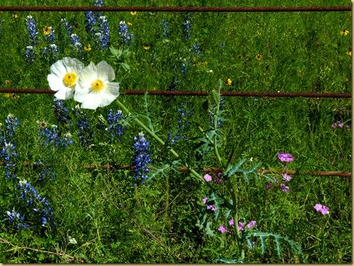 2010-04-24 - TX, Fredericksburg - Bluebonnets & Spring Flowers - 1024