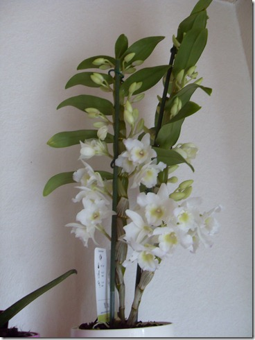 2011_04 Orchidee Dendrobium (1)