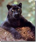 Black_Panther_on_mud_hill