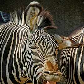 Laughing Zebra by Michael Elliott - Animals Horses ( expression, laugh, horse, funny, stripes, teeth, details, bite, upset, humor, zebra, smile, africa )