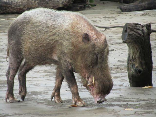 wild boar Bako