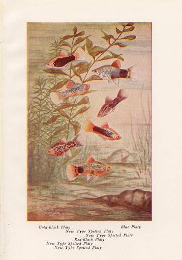 http://lh5.ggpht.com/_Igm0R8VN7FM/THYhfl0oDhI/AAAAAAAABAw/FimXUnNHuhU/1900LLA-GoldBlackPlatyFish1.jpg
