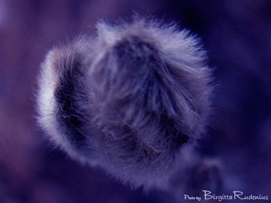 macro_magnolia_20101213_G9_blue