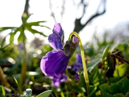 blom_20110407_viol