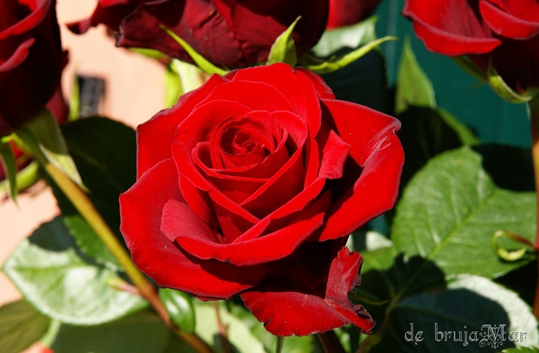 roses_bybrujaMar