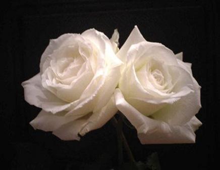 dos rosas2_debrujaMar
