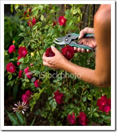 ist2_6365527-trimming-a-rose-bush