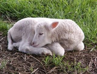 baby lamb1 [640x480]