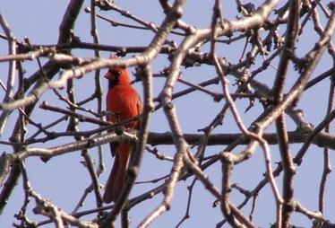 cardinal - Copy [640x480]