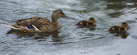 Duck_ducklings