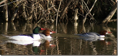 Mergansers_Feb2010