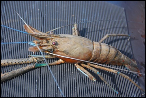 Giant Sepik River Prawn