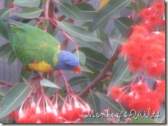 Parrots on Red Flowering Gum 2