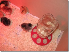 new chicks 08