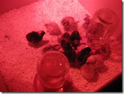 new chicks 12