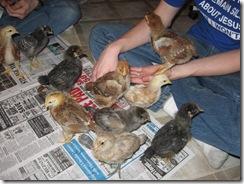 chicks 2 weeks 03