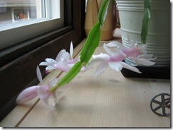 Easter cactus 02