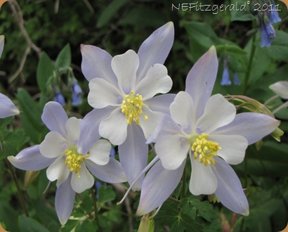 Bouquet_of_Columbines
