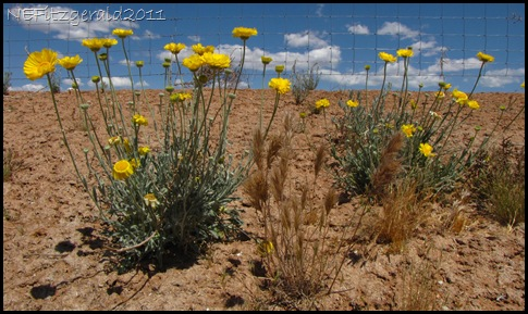 DesertMarigold 