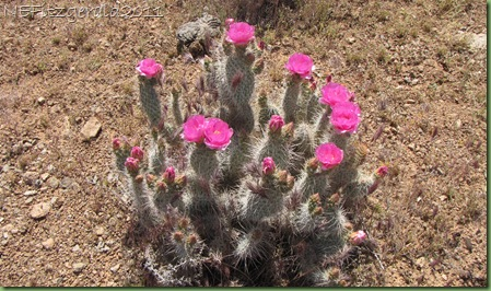 (e)PricklyPear Cactus
