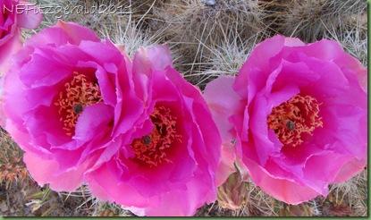 TrioOfPricklyPear Blossoms