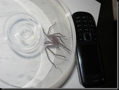 spider 081