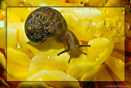 Snail on Yellow Rose