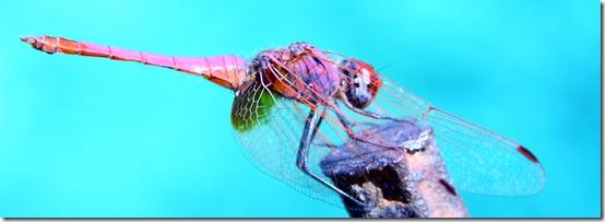 libellula turchese
