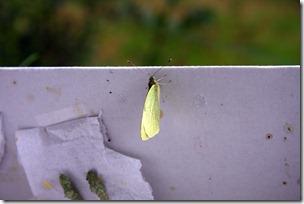 Allevamento farfalle-12