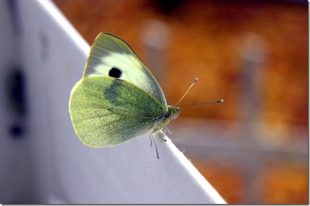 Allevamento farfalle-18