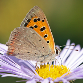 Small Copper by Mia Ikonen - Animals Insects & Spiders ( butterfly, colorful, aster, small copper, finland,  )