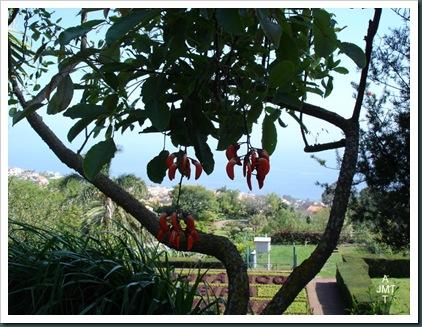 DSC05282W1-erythrina-falcata carolina (erythrine) F fabaceae BW