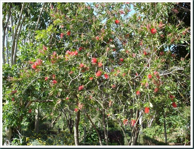 DSC05308W1-callistemon-citrinus (goupillon, rince bouteille) F myrtaceae BW